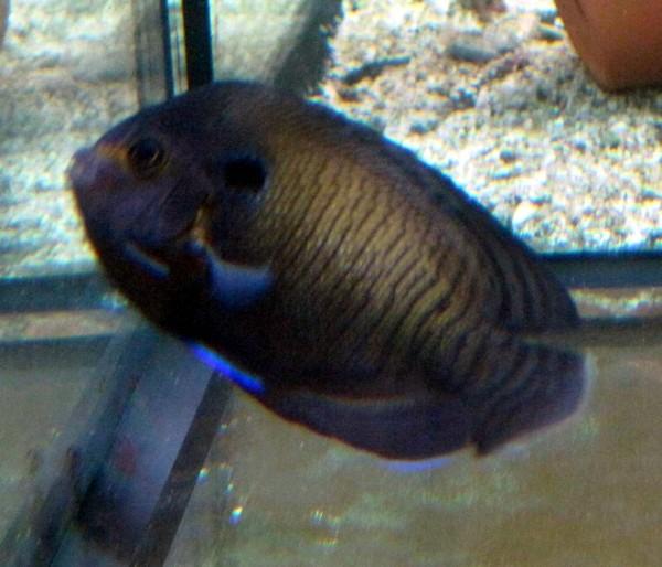 Centropyge multispinis - Brauner Zwergkaiserfisch mit blau - wunderhübsch -