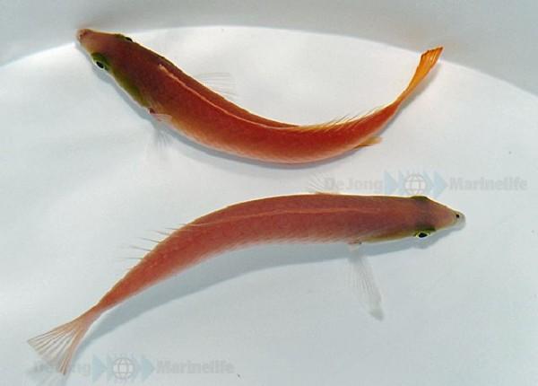 Weibchen Pseudojuloides cerasinus - Multicolor-Lippfisch (Zuckerstangen-Junker)