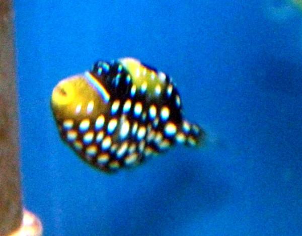 Balistoides conspicillum - Leoparden Drückerfisch S