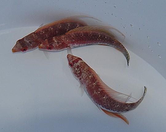 Cirrhilabrus filamentosus - Zwerglippfisch
