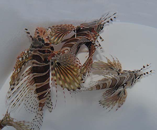 Dendrochirus zebra - Zebra-Zwergrotfeuerfisch - Achtung: giftig
