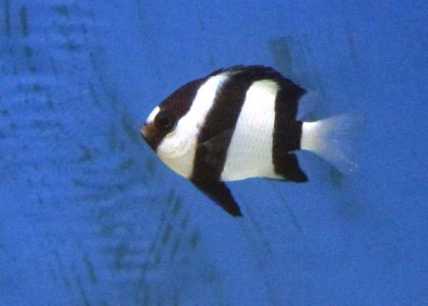 Dascyllus aruanus - Dreibinden-Preußenfisch