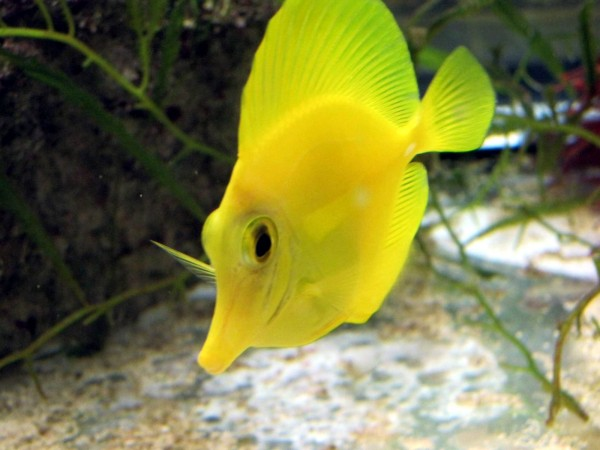max 1 bestellbar und längere Wartezeit Zebrasoma flavescens - Hawaii Doktor - Gelber Seebader