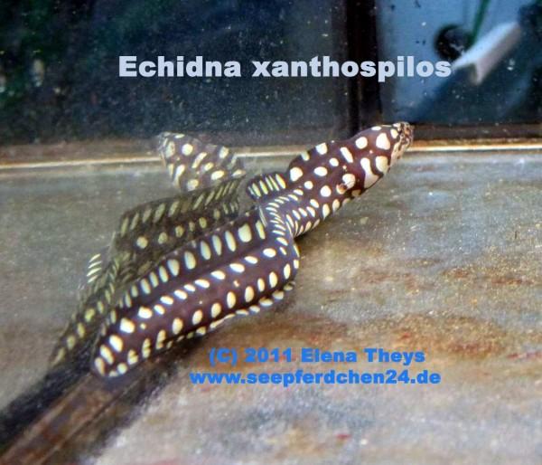 Echidna xanthospilos - seltene Muräne - Rarität