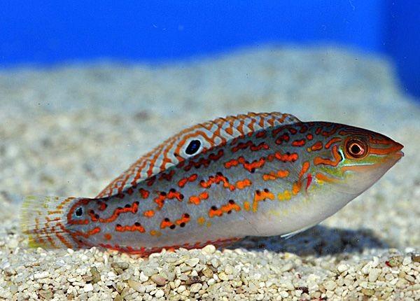 Halichoeres timorensis - Timors Lippfisch
