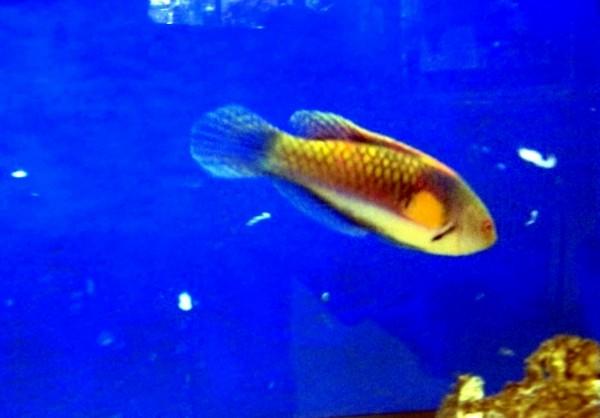 Cirrhilabrus lyukyuensis - Gelbseiten-Zwerglippfisch Männchen