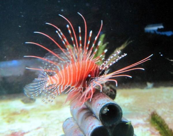 Pterois antennata - Antennen-Rotfeuerfisch