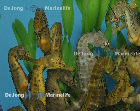 Hippocampus abdominalis - Seepferdchen auf verbindliche Vorbestellung
