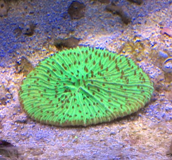 Fungia knallgrün