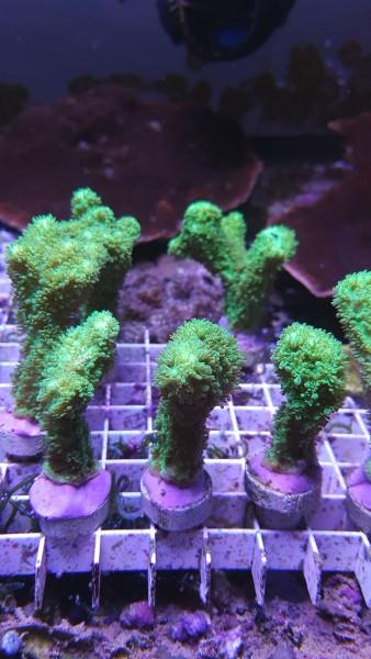 Hydnophora exesa knallgrün Ableger ca 4-5 cm Pickelkoralle