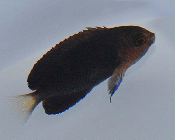 Centropyge flavicauda - Weißschwanz-Zwergkaiserfisch