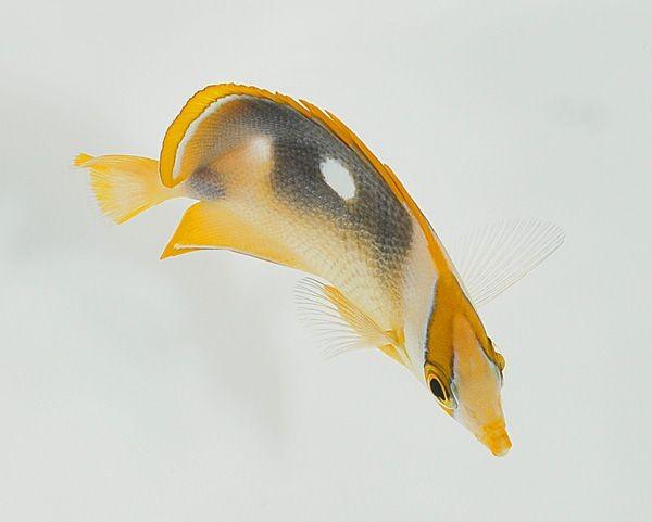 Chaetodon quadrimaculatus -Vierflecken-Falterfisch