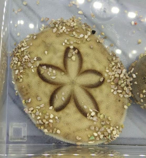 Clypeaster sp - großer Sanddollar grabender Seeigel