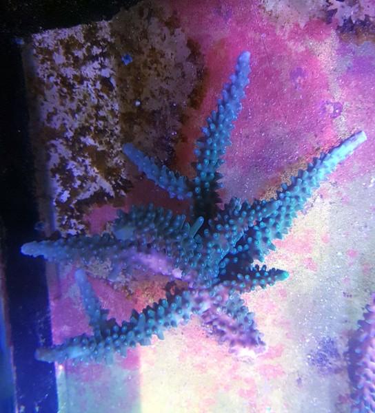 WYSIWYG Acropora sp. blaugrün