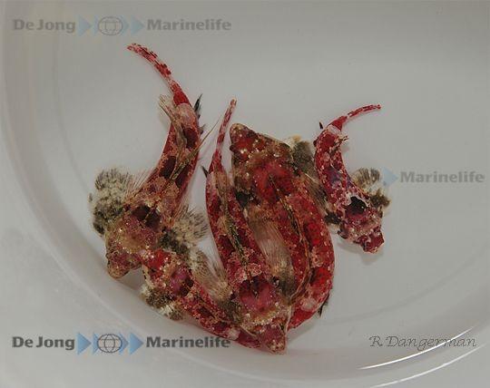 Synchiropus stellatus - rotbrauner Spinnenfisch / Leierfisch