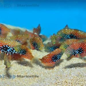 Macropharyngodon bipartus Weibchen oder juvenil - Diamantlippfisch
