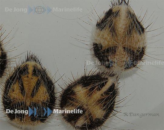 Maretia planulata - Irregulärer Herzseeigel  grabender Seeigel
